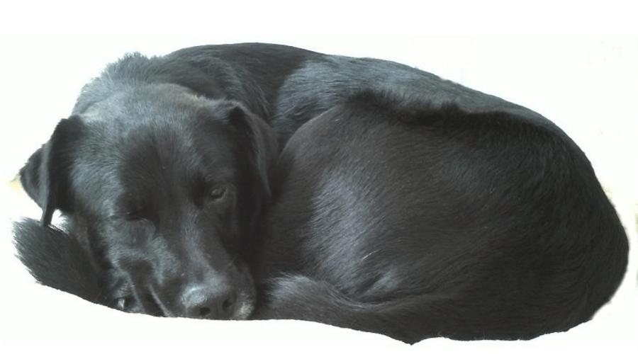 schwarzer Hund CoDo schläft
