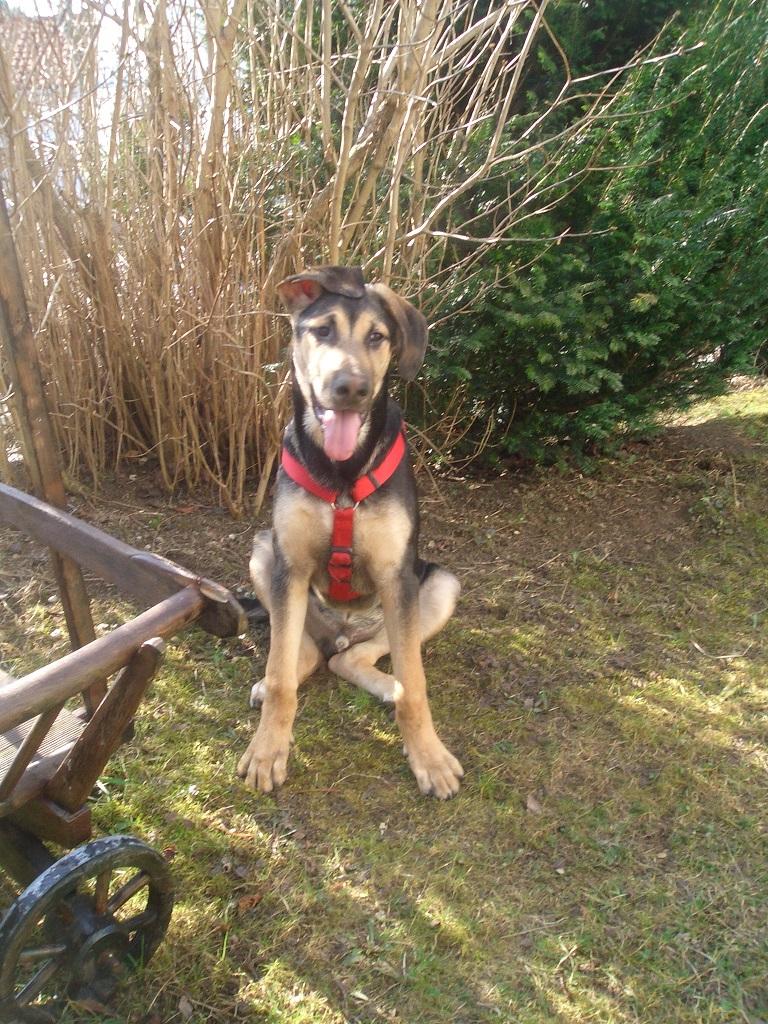 schäferhund hamilton stövare names Buddy im Garten