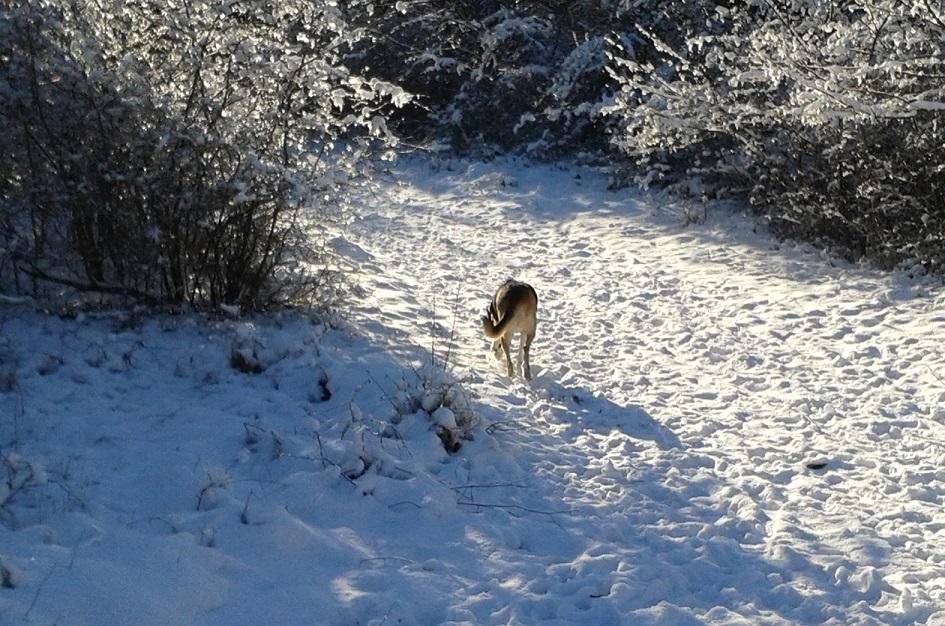 Telmo schnüffelt im Schnee
