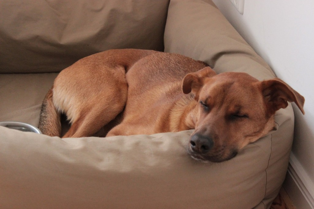 Hund Horton liegt im Hundebett