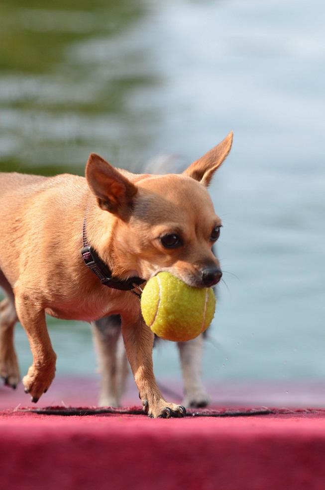 Chihuahua mit Ball im Freibad