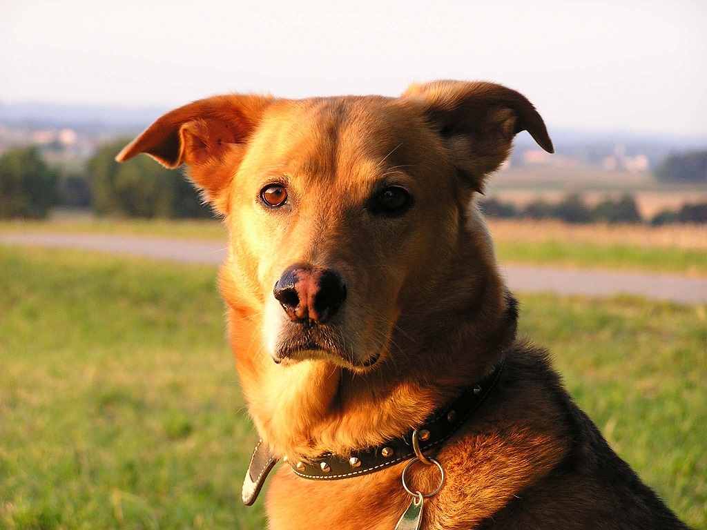 Husky und deutscher Schäferhund Mix