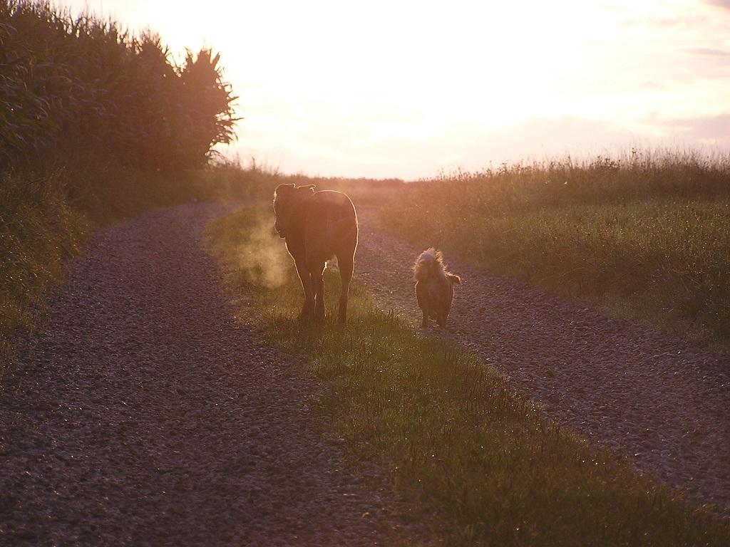 zwei Hunde laufen gen Sonnenuntergang