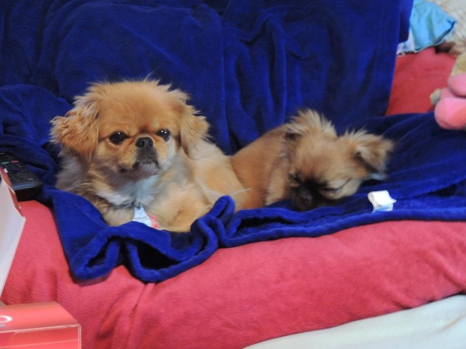 Chihuahua & Pekinese