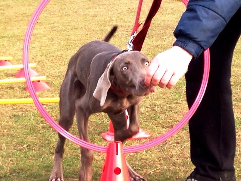 Hund trainiert durch Ring zu springen