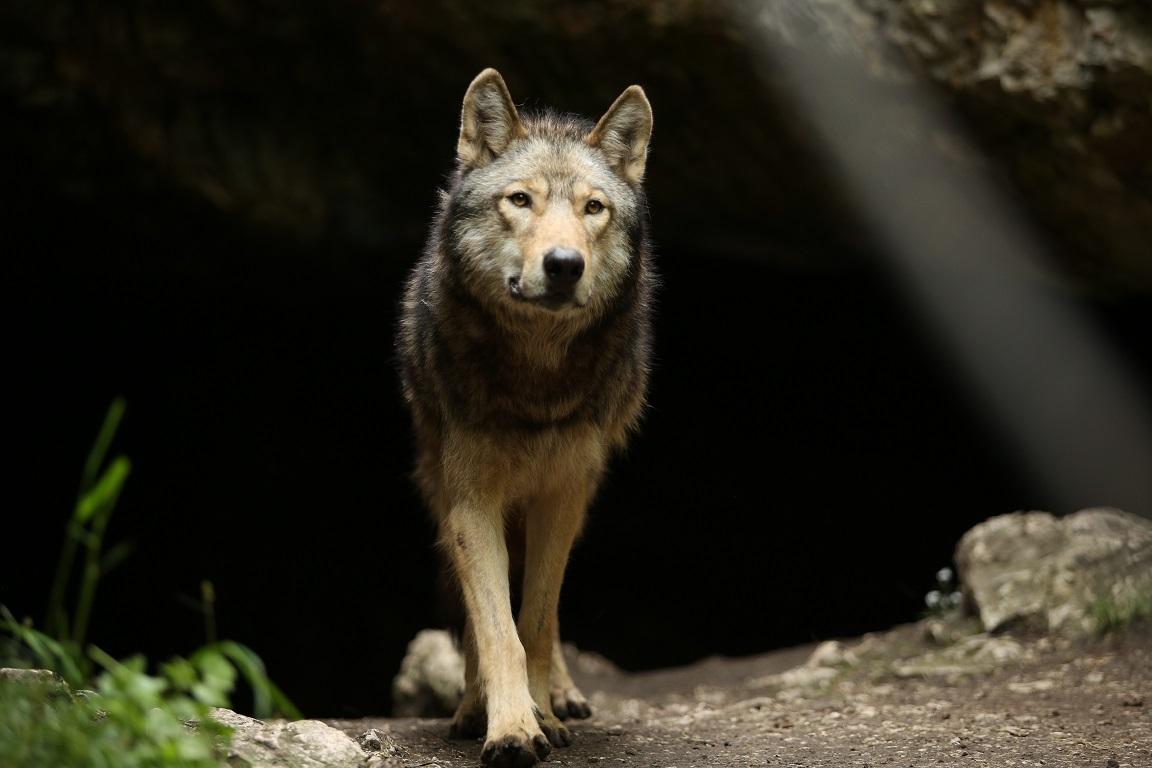 Wolf steigt aus seiner Höhle hervor