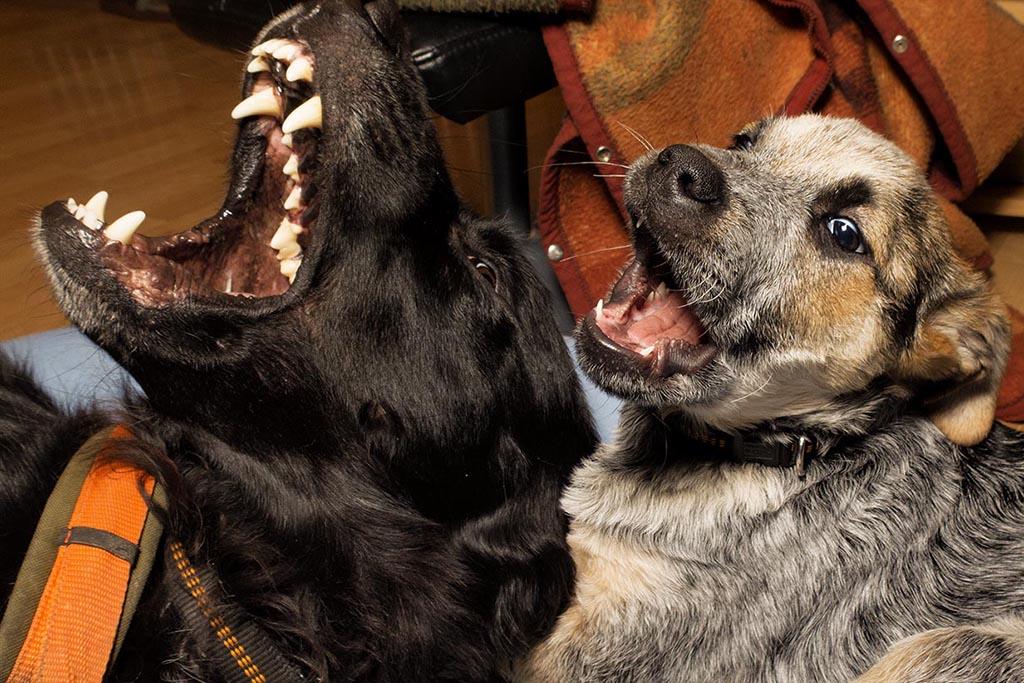 zwei Hund in freudiger Erwartung vor dem Essen