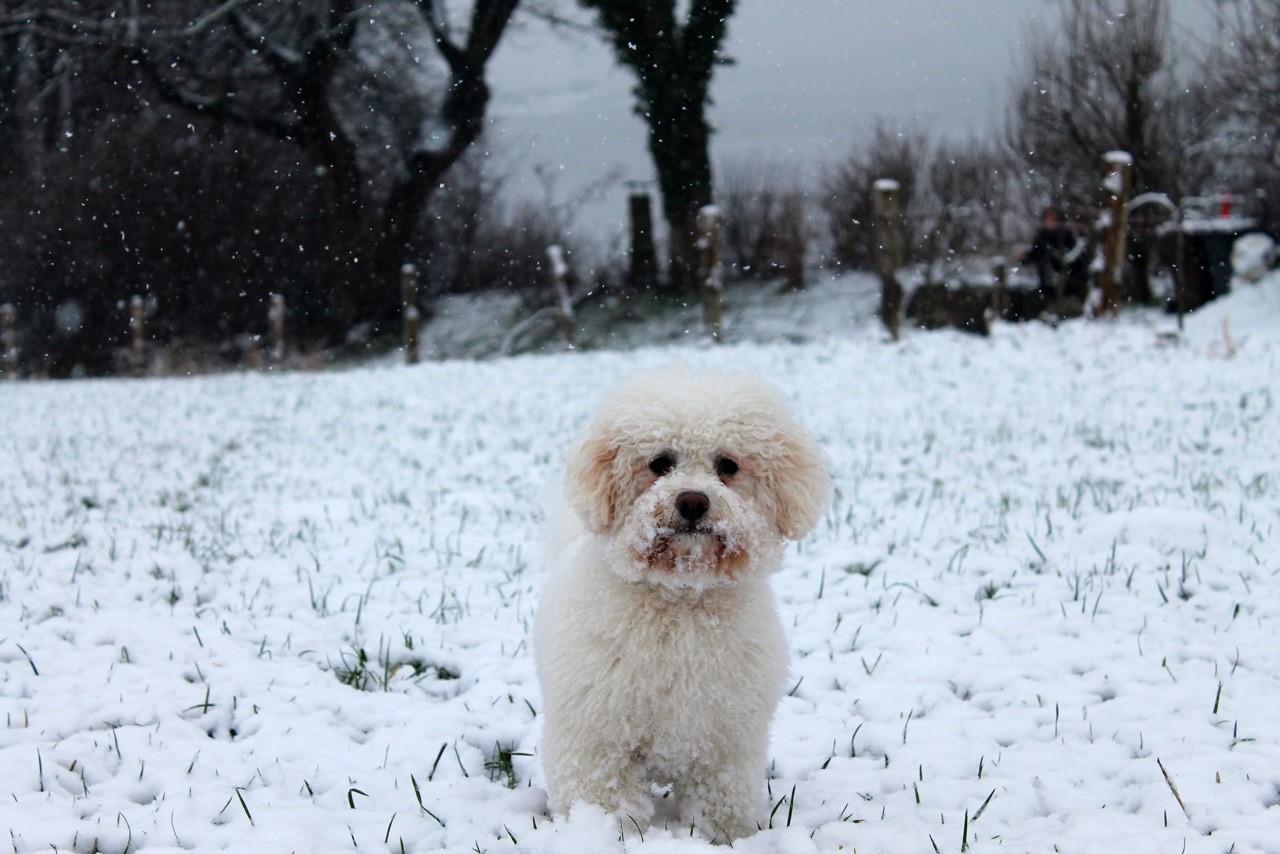Bichon Frisé im Schnee