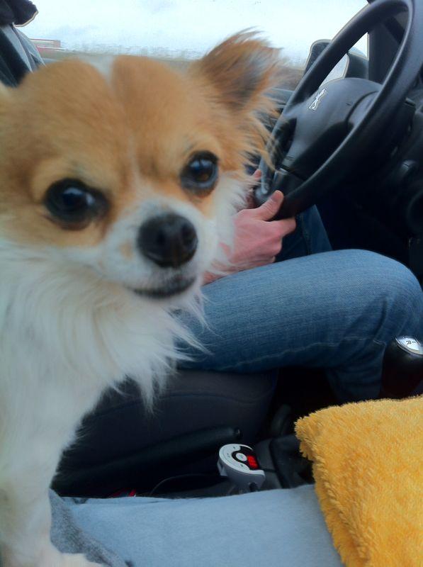 Hund Emilio im Auto