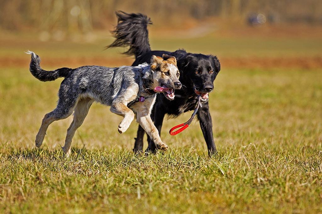 zwei Hunde beim Laufen