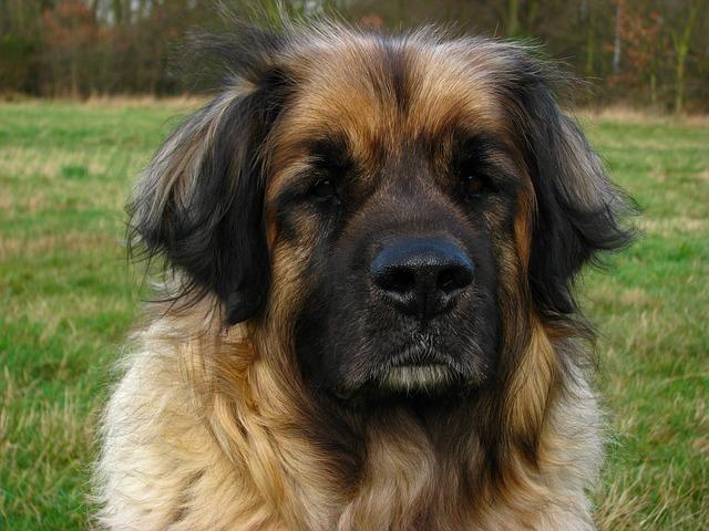 Leonberger Hunde zählen ebenfalls zu Anfängerhunden