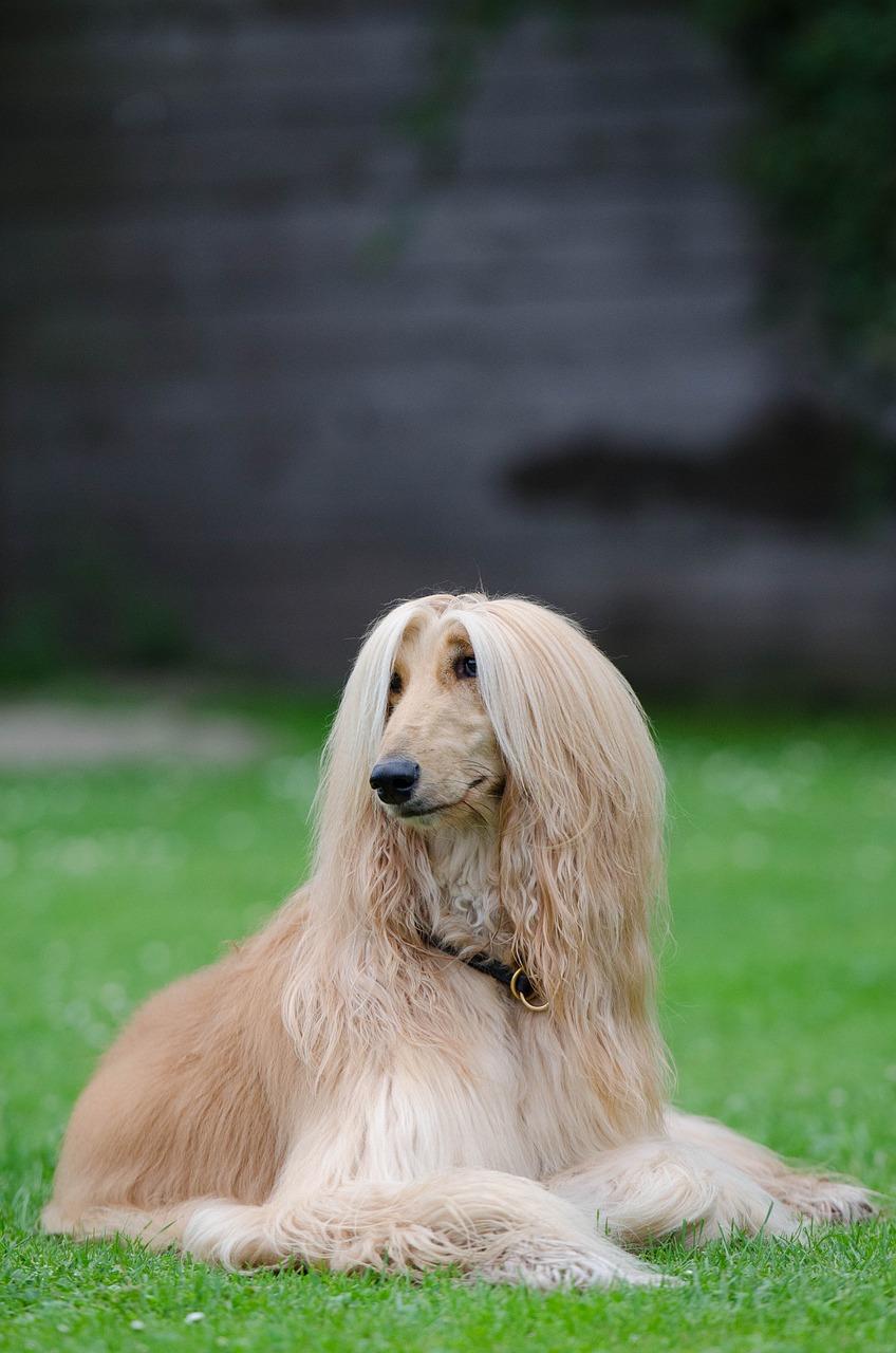 der Afghanischer Windhund ist eine der teuren Hunderassen