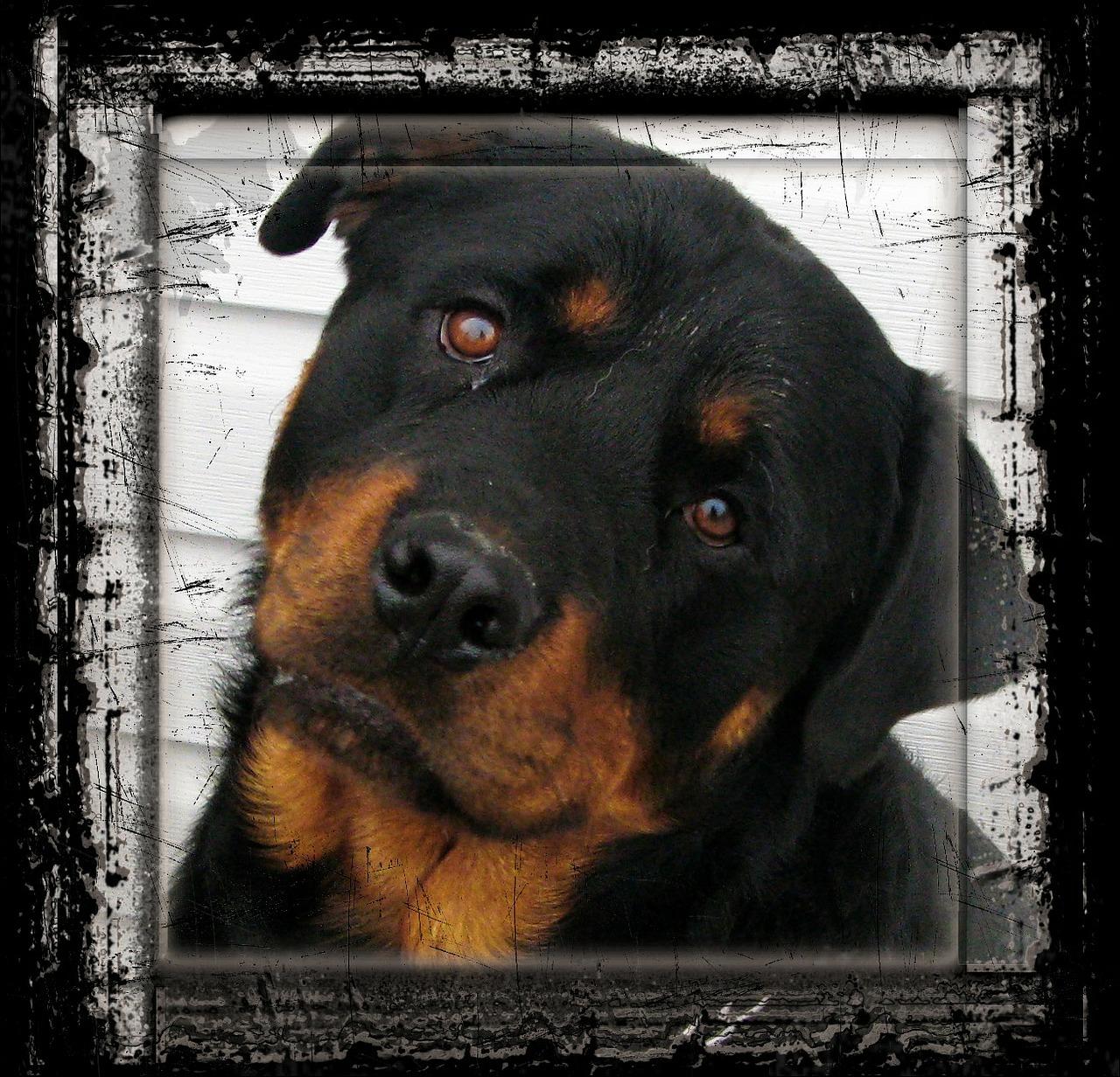 eine verleumdete und auch teure Hunderasse ist auch der Rottweiler