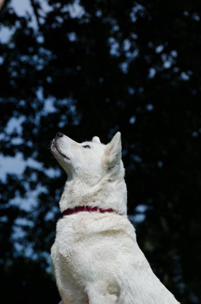Teure Hunderassen beinhalten auch den Akita Hund aus Japan
