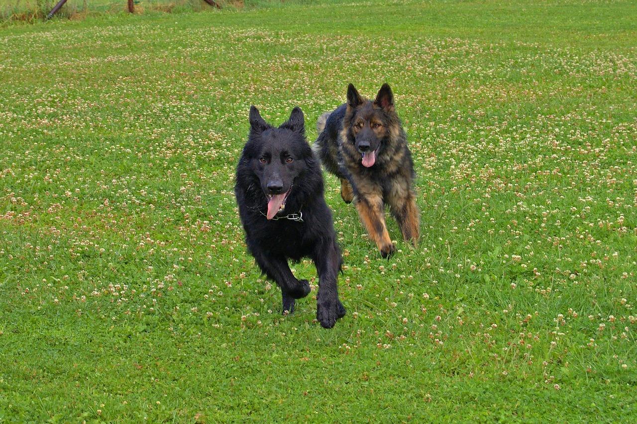 wie alt werden Hunde - älter, wenn sie sich genug bewegen