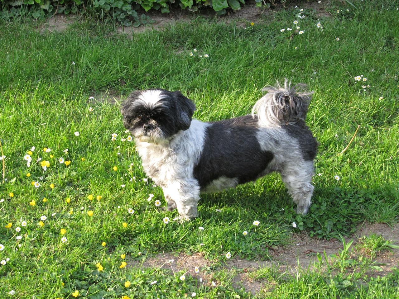 Schöne Hundenamen kommen oft auch aus dem Chinesischen, entlehnt von Hunden wie dem Shih Tsu