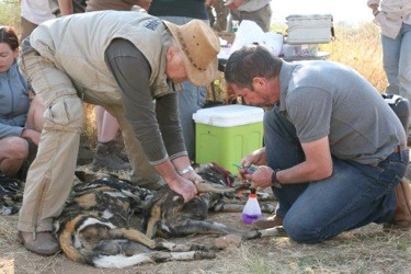 Wildhund in Afrika wird behandelt