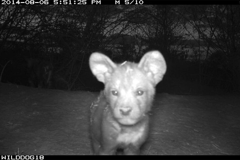 Wildhund in Afrika über Videokamera beobachtet