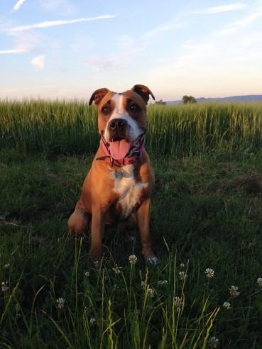 Rasseportrait American Staffordshire Terrier