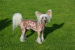 Chinese Crested Dog auf der Wiese