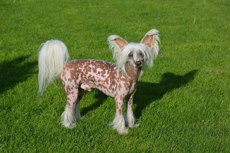 Der Chinese Crested Dog