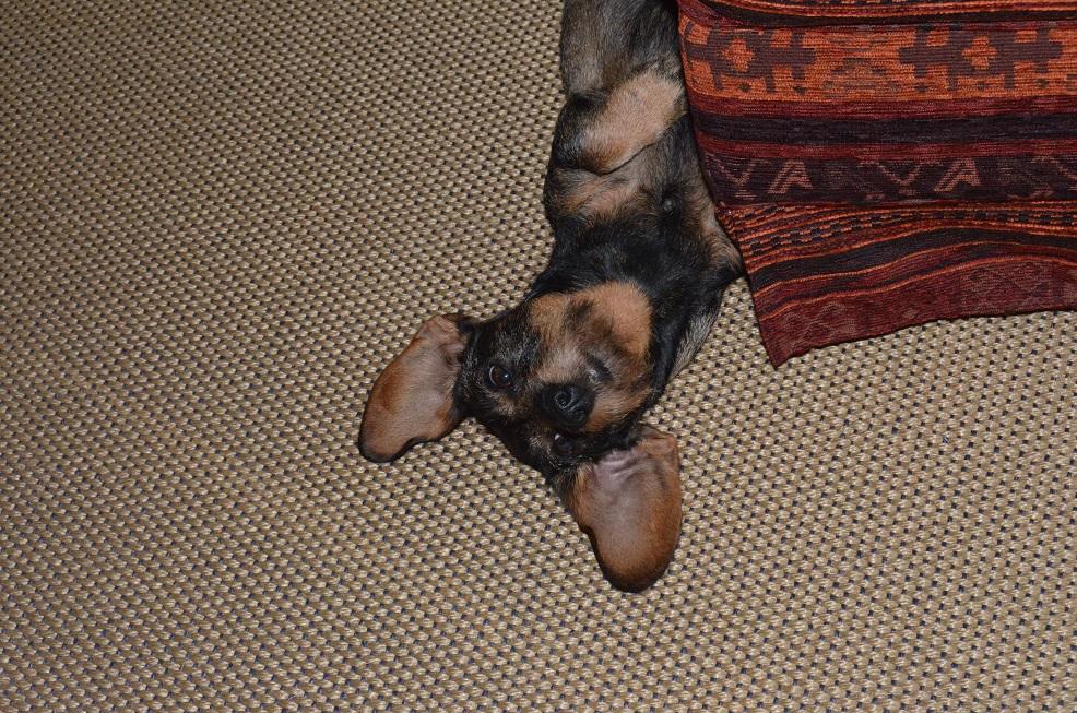 Dackel auf dem Teppich