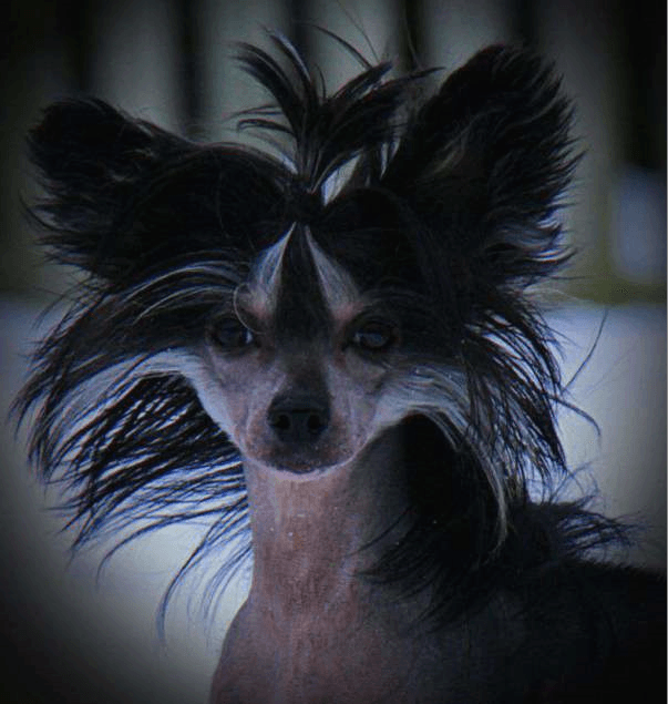 Chinese Crested Dog - Donna