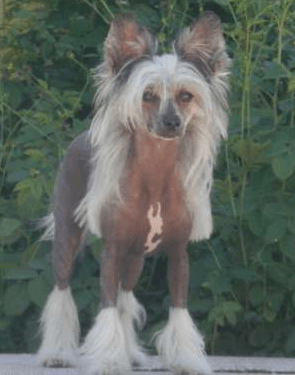 Chinese Crested Dog - Orchi