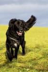 schwarzer Hund auf Wiese