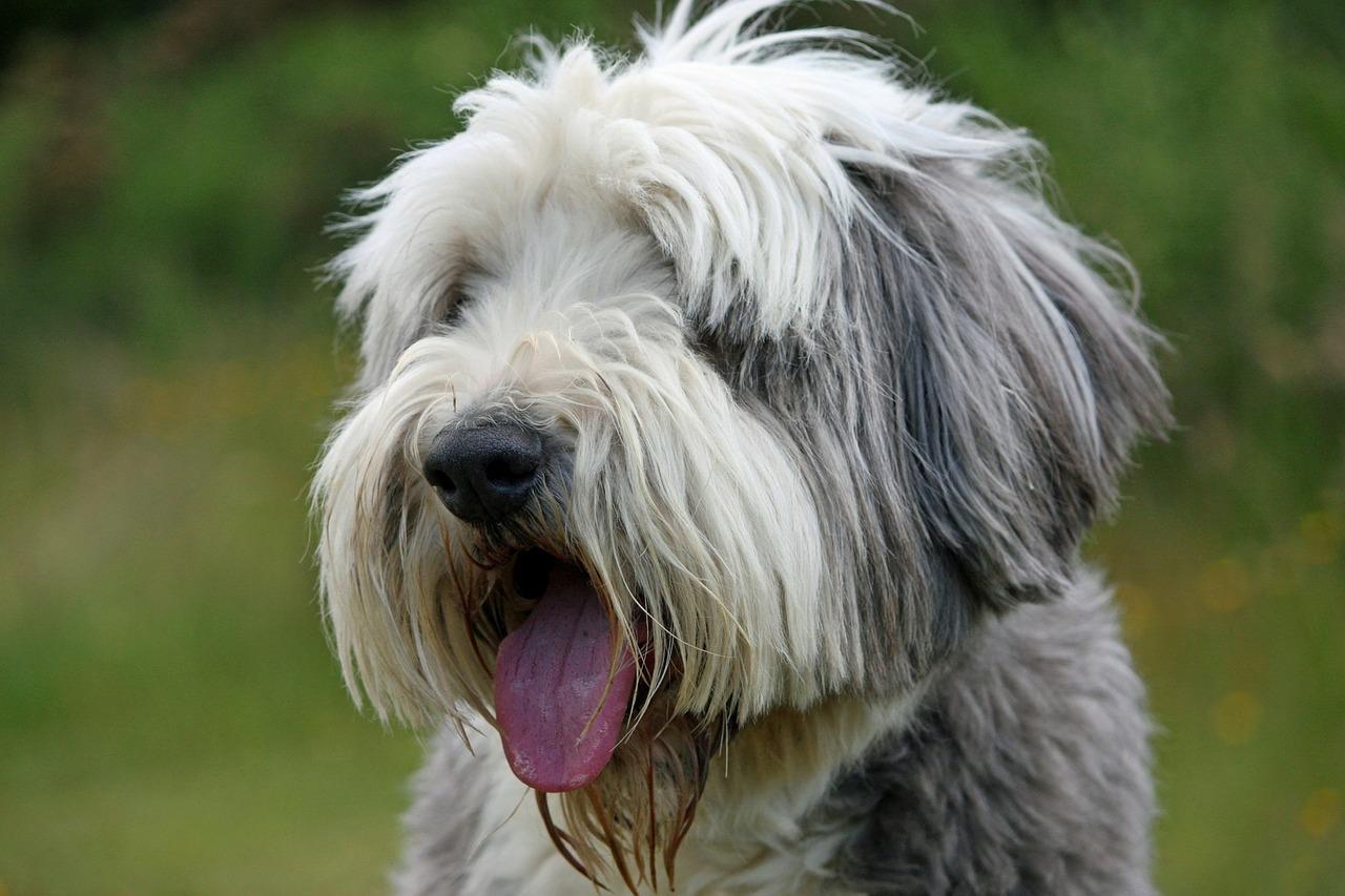 Bearded Collie, auch Beardie genannt