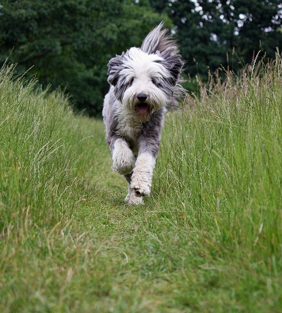Bearded Collie beim Rennen