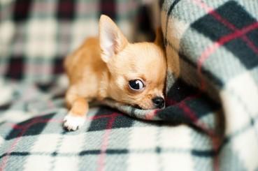 Mini Hunderassen – klein, aber fein!