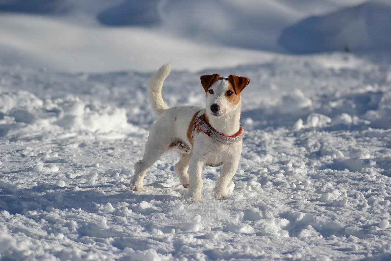 Eine Prominenz unter den Mini Hunderassen ist der Jack Russell Terrier