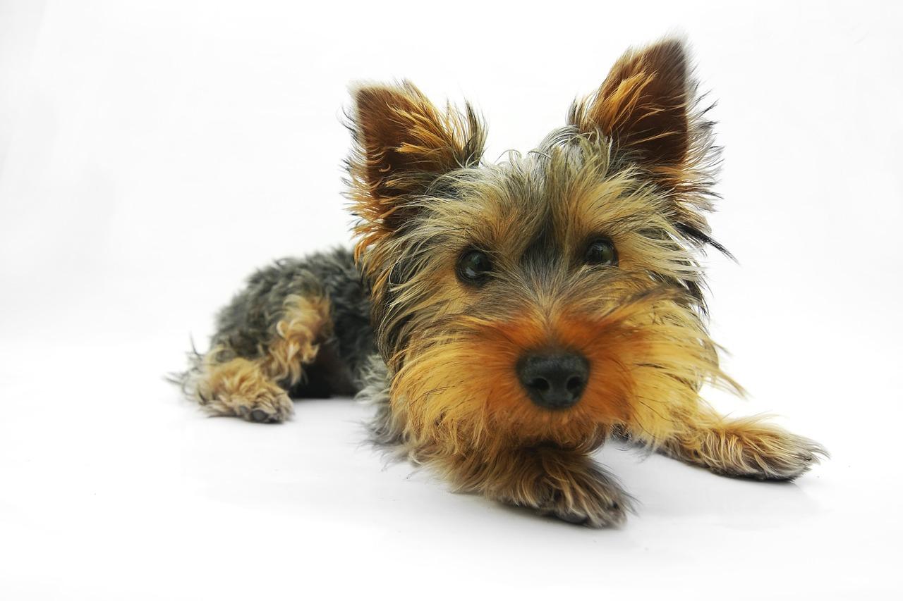 Zu den Mini Hunderassen gehört auch der Yorkshire Terrier