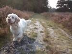 Clumber Spaniel beim Spaziergang