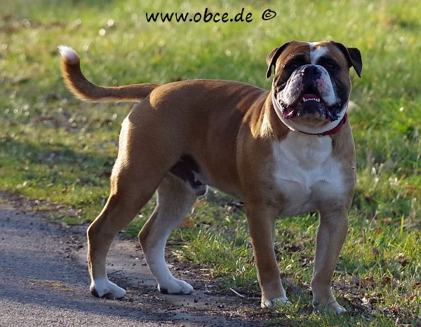 Vintage® English Bulldog am Strassenrand