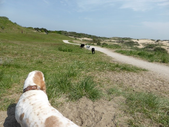 Basset in Holland