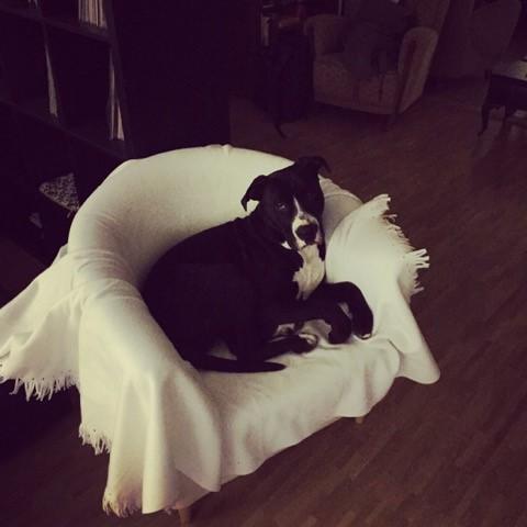 Hund liegt auf Stuhl