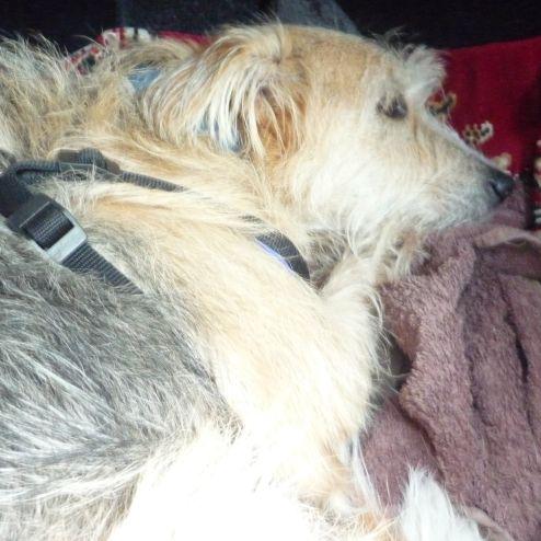 Hund Bonny im Auto