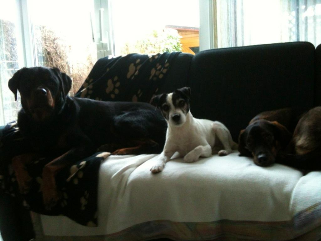 drei Hunde auf dem Sofa