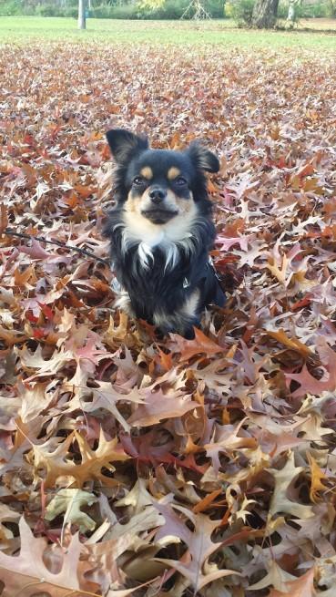 """""""Der erste Chihuahua, der nicht bellt"""""""