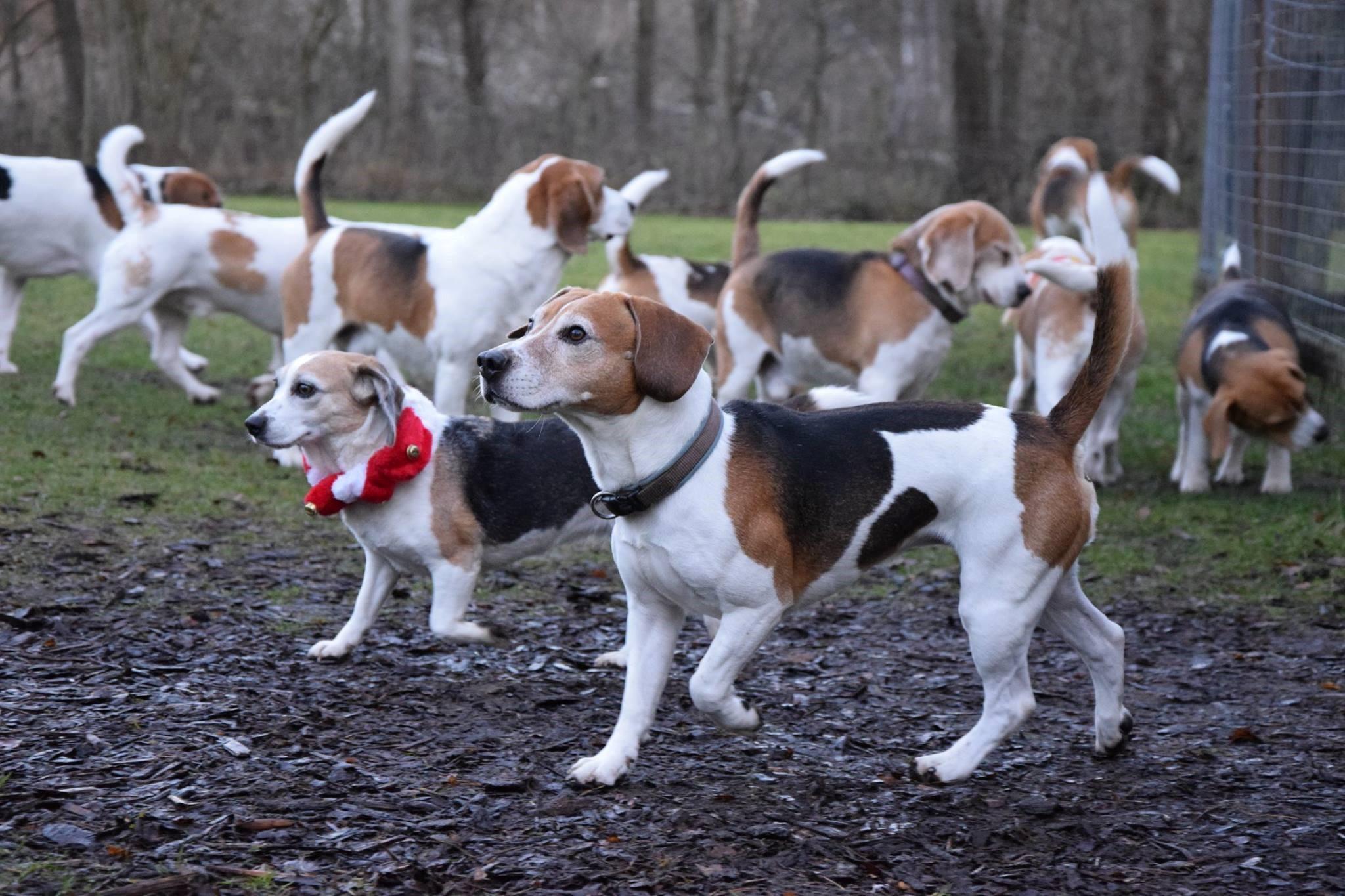 ganz viele Beagle
