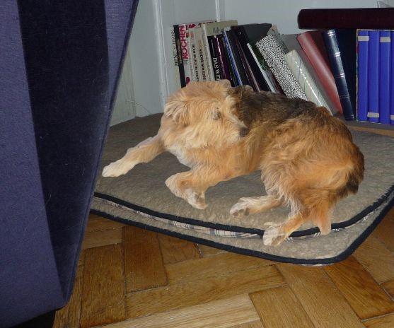 hund bonny im wohnzimmer