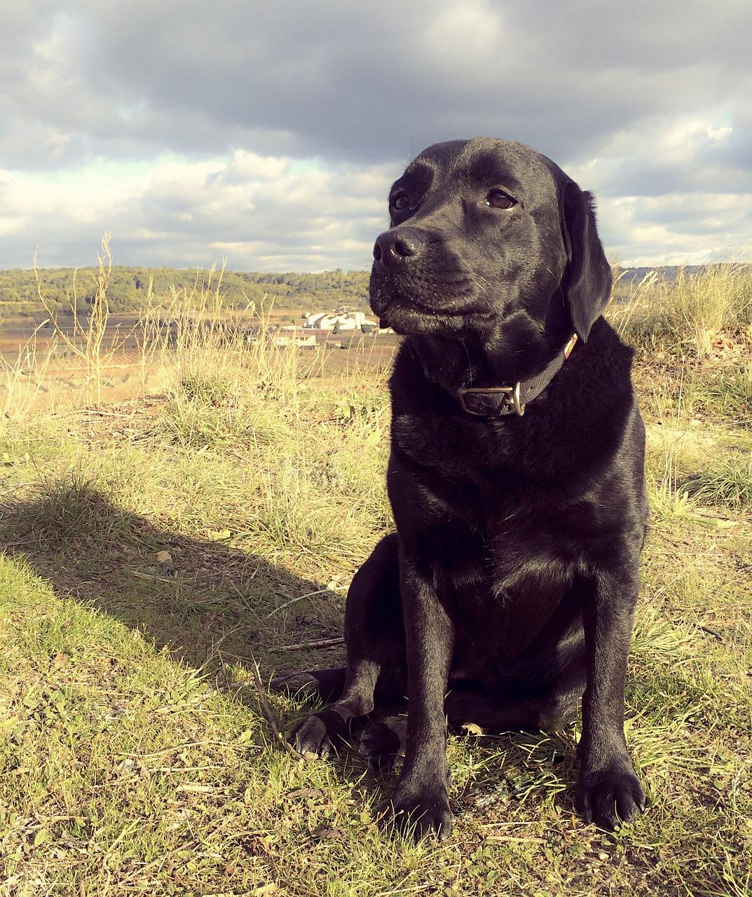 Labrador auf der Wiese