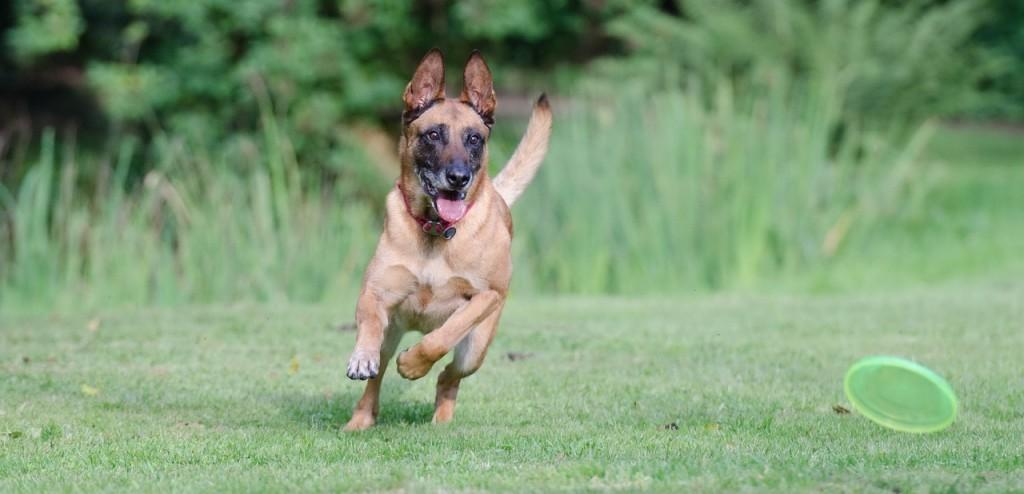 Hundespielzeug: Hund spielt mit Frisbee Scheibe