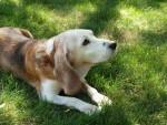 alter Hund im Gras