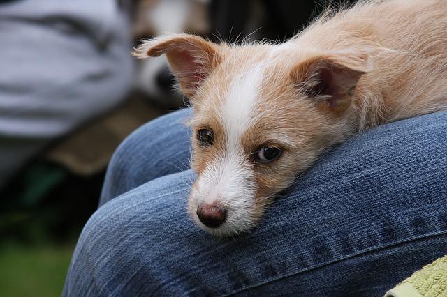 Portugiesische Hunderassen sind kaum bekannt, Ausnahme: der Podengo