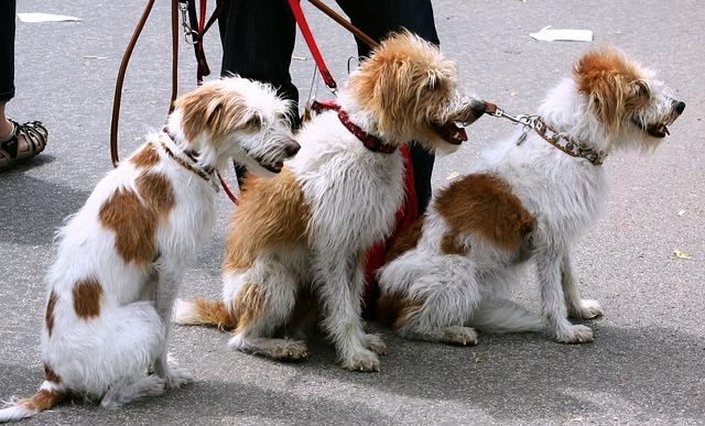 Hundesitter: in den USA ist der Beruf seit langer Zeit anerkannt