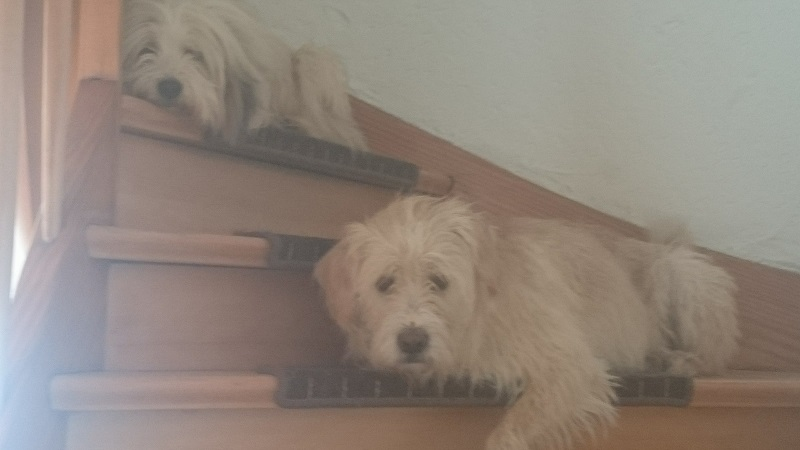 zwei Hunde auf der Treppe