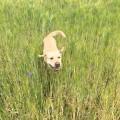 hund in der grünen wiese